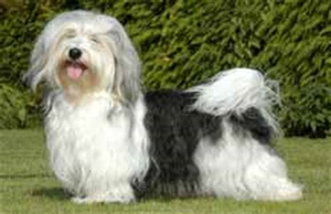 havanese puppies scotia canadian kennel club club canin canadien
