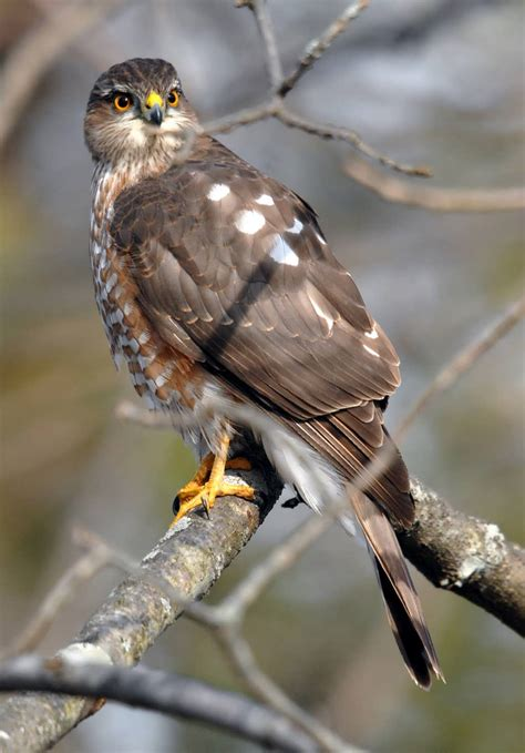 Sharp Shinned Hawk | sharp shinned hawk facts habitat diet call images