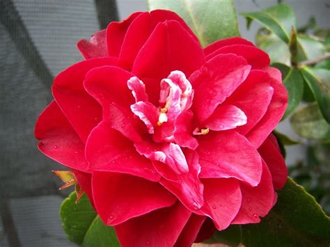 how to care for camellias in pots