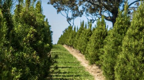 real christmas tree sydney tree farms to sydney cbd for a real tree ellaslist
