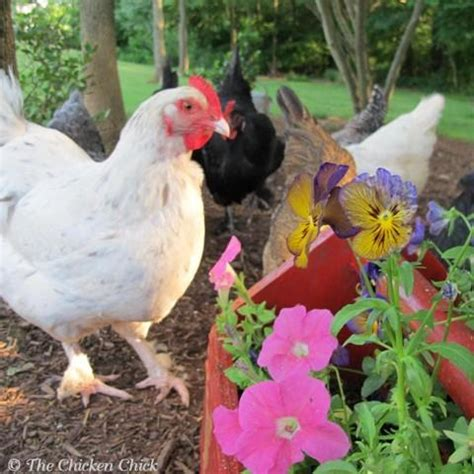 Backyard Chickens Grit Poultry Lice And Mites Identification And Treatment In
