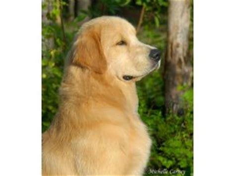 golden retriever puppies navarre fl golden retriever puppies in florida