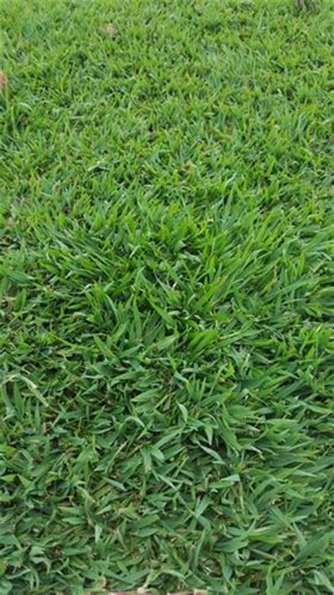 wintergreen couch seed premium turf bundaberg domestic commercial and sports