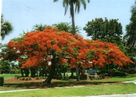 Garden Poinciana by Poinciana Garden Club Fort Myers County Garden