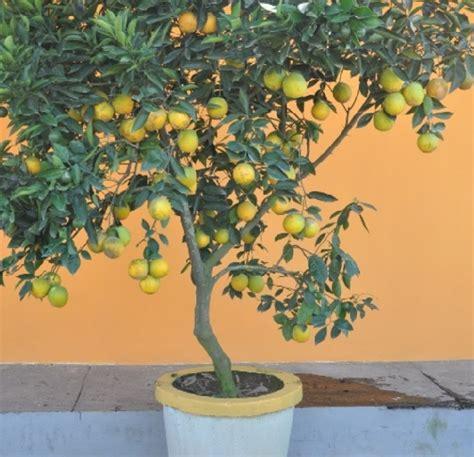 Bibit Jeruk Lemon Manis cara menanam jeruk dari biji agar cepat berbuah