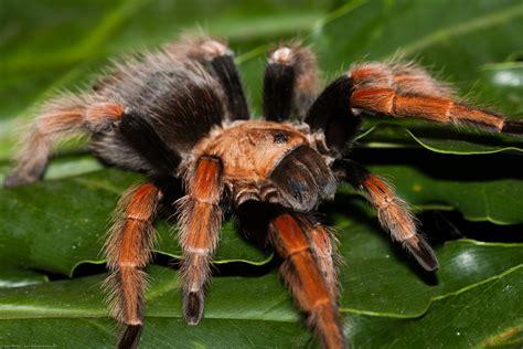 imagenes de animales de mexico brachypelma boehmei mexican fire leg tarantula or mexican