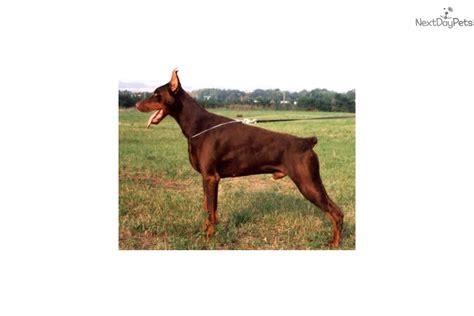 doberman puppies az akc doberman pinscher puppy for sale near arizona 5a3a89a1 a6f1