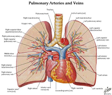 chest anatomy diagram thorax lungs anatomy and physiology diagrams free