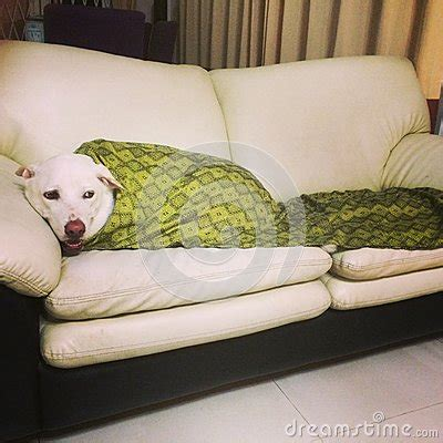 dog couch blanket cozy dog on a sofa stock photo image 43113765