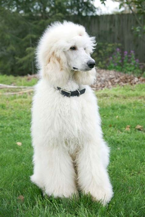 poodle lifespan poodle 743 best with poodles images on poodles