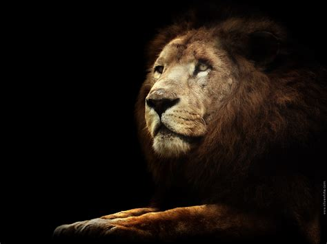 wallpaper black lion unusual wallpaper black lion wallpapers
