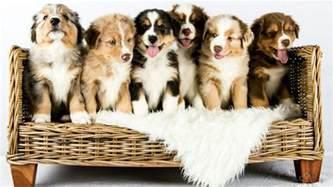 an australian shepherd puppy australian shepherd puppies growing time lapse youtube