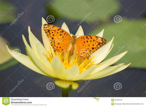 lotus and butterfly a butterfly on lotus stock photo image 56400126