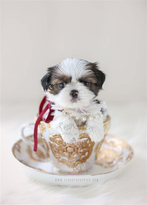 teacup shih tzu puppies for sale in south florida chocolate and white shih tzu puppies for sale by teacups teacups puppies boutique