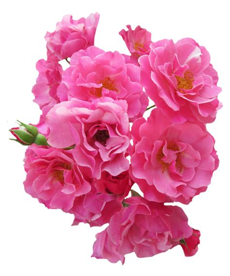 new year flower png bunch pink flower png image pngpix