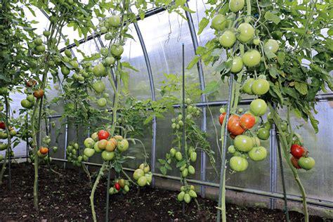 Arrosage Des Tomates Dans Le Sud by Abri 224 Tomates Choix Et Prix D Un Abri 224 Tomates Ooreka