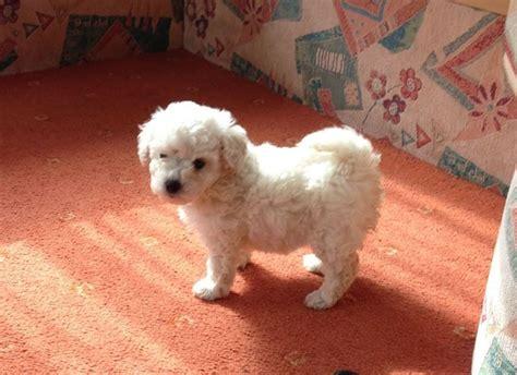 alimentazione barboncino barboncino bianco cani taglia mini barboncino bianco