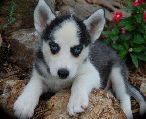 miniature husky puppies black white miniature husky puppy photos png