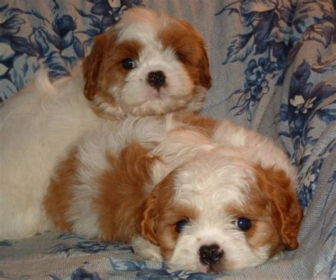 Cavapoo Shedding cavapoo pup non shedding for sale in drumheller alberta