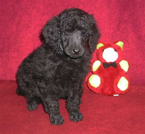 puppies baton standard poodle puppies baton dogs in our photo