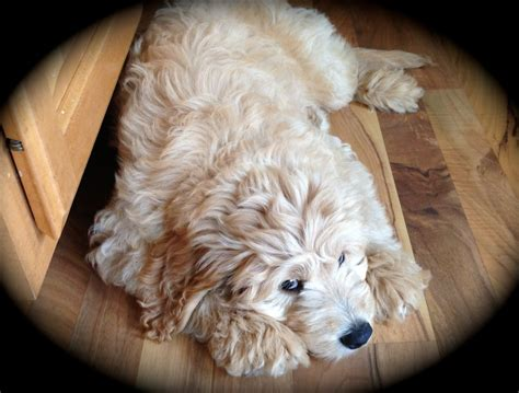 goldendoodle puppy wi wisconsin miniature goldendoodle breeder