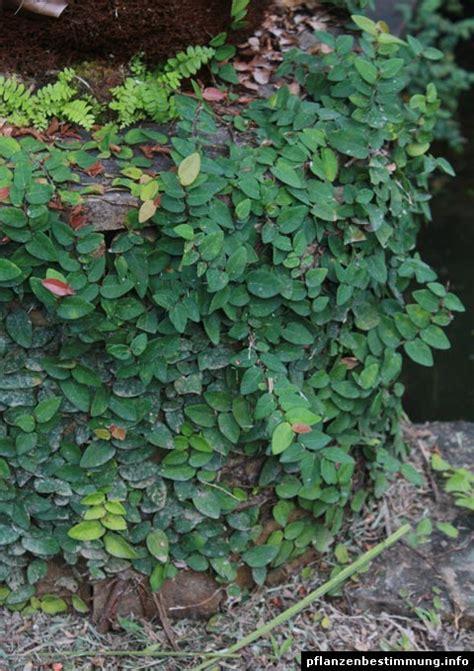 climbing fig plant ficus pumila