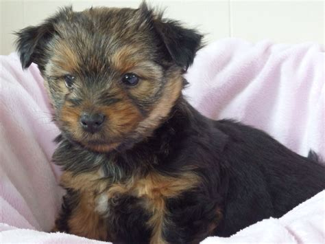yorkie puppies for sale essex gorgeous terrier puppies for sale maldon essex pets4homes