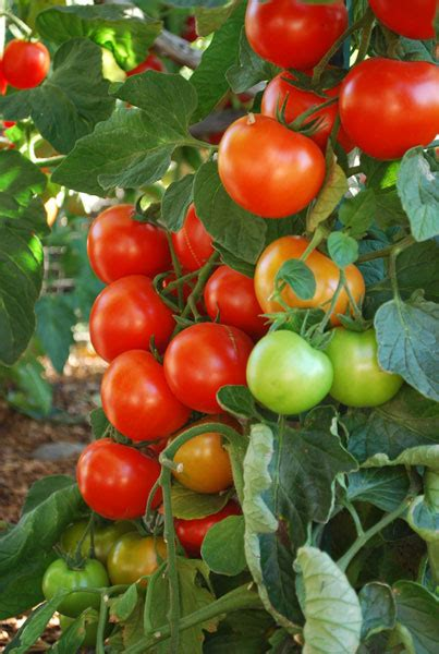 how to grow tomatoes casual cottage