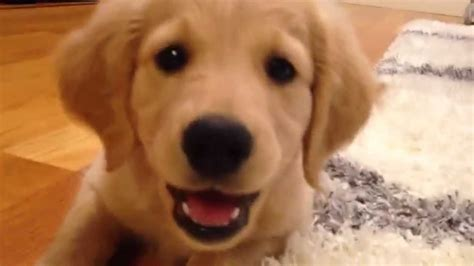 comfort golden retriever piper the comfort retriever mini golden puppy month home 8 13 weeks