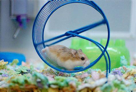hamster wheel necessary for hamster wishforpets