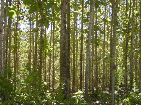 Bibit Tanaman Hutan Jati Apb jokoristono investasi yang paling menguntungkan tanaman