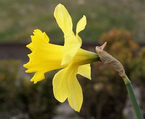 The Flower flowers narcissus flower