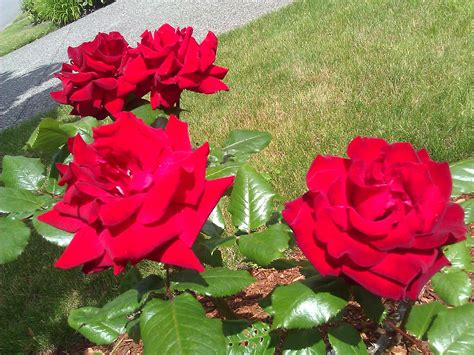 roses flower delivery service typesofflower com typesofflower com