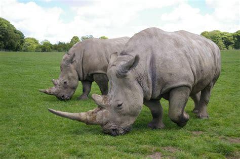 imagenes rinoceronte blanco rinoceronte blanco caracter 237 sticas alimentaci 243 n h 225 bitat
