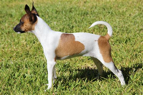rat terrier image gallery ratterrier