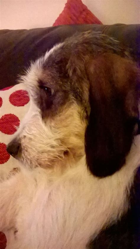 foxhound puppies for sale foxhound keighley west pets4homes
