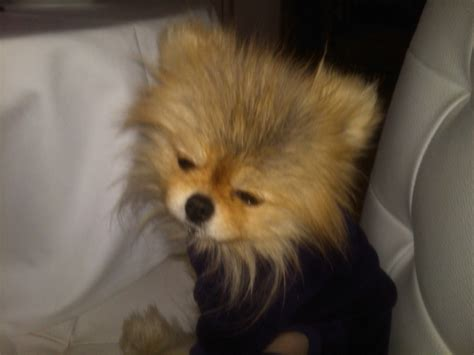 vanderpump pomeranian breeder 33 best outstanding drag images on drag petticoats and s clothes