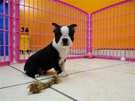boston terrier puppies for sale in ms cairn terrier puppies for sale in jackson mississippi ms clinton pearl horn lake