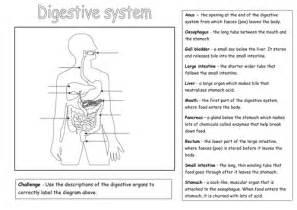 labelling digestive system diagram worksheet pdf