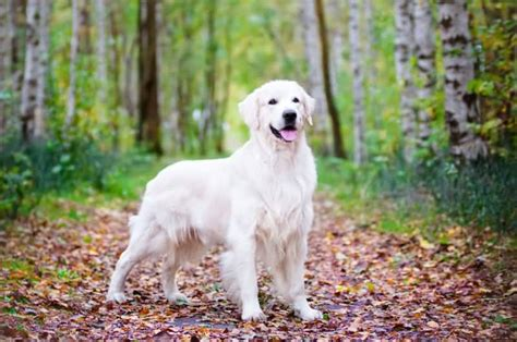 white golden retriever 45 most beautiful golden retriever photos golfian