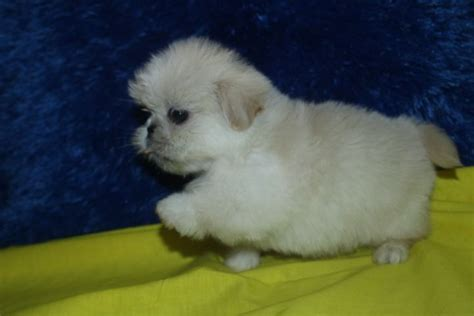 shih tzu grown weight 242 best cuties images on cubs doggies and puppies