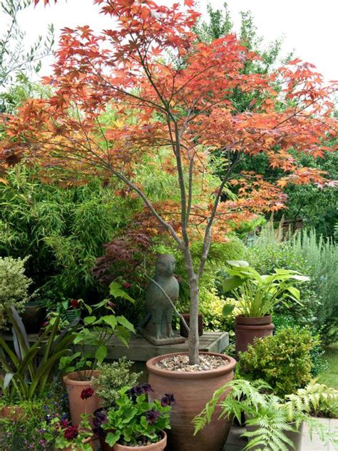 japanese maple trees how to plant hgtv