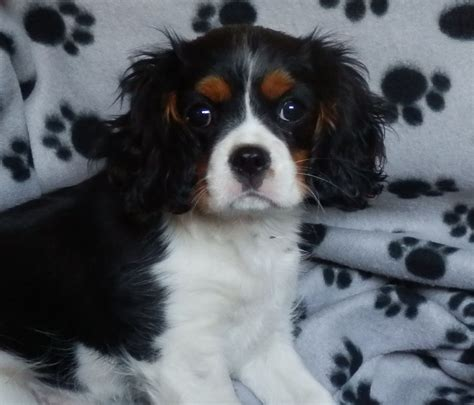king charles cavalier puppies cavalier king charles spaniel puppies for sale doncaster south pets4homes