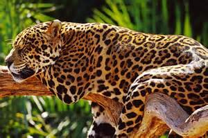 Wwf Jaguar Jaguar Wwf