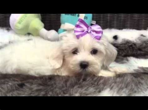 havanese puppies for sale in charleston sc havanese funnydog tv