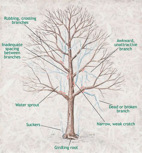 how to cut a tree diagram pruning sugar maple trees maple leaves forever