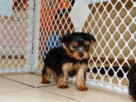 yorkie florida terrier yorkie puppies dogs for sale in jacksonville florida fl