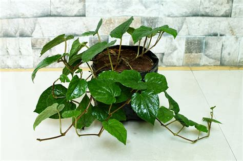 complete guide  grow betel leaf plant   benefits