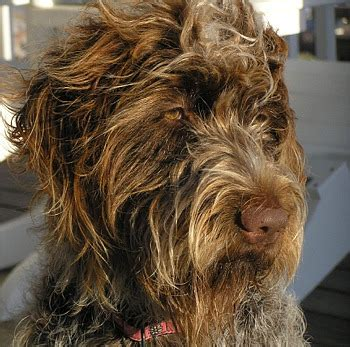 wirehaired pointing griffon puppies for sale wirehaired griffons for sale breeds picture