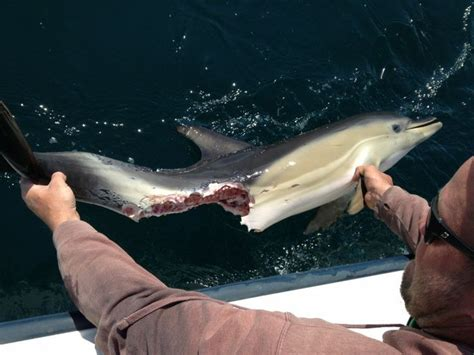 shark getting dragged behind a boat 17 best images about shark wound on pinterest dolphins